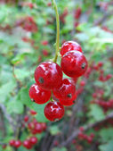 Red currant twig on the bush — Stock Photo