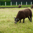 Stock Photo: Brown sheep cropping grass