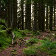 Стоковое фото: Pine forest with mossed ground