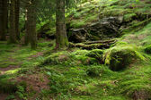 Side of a hill covered with moss and pine forest — Stock Photo