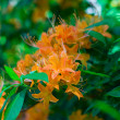 Blooming orange Rhododendron — Stock Photo #11051454