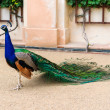 Peacock in a zoo in Prague — Stock Photo