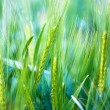 Young wheat - soft background — Stockfoto