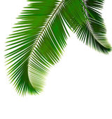 Las hojas de palma en vector de fondo blanco — Vector de stock