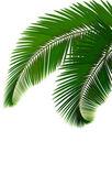 Palm leaves on white background Vector — Stock Vector
