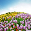 Beautiful spring tulips in a Turkish garden — Stock Photo