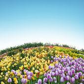 Krásný jarní tulipány v turecké zahradě — Stock fotografie