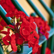 Beautiful geraniums - 