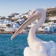 Mikonian Pelican - Stock Photo