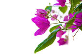 Bougainvillea Branch — Stock Photo
