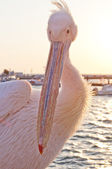 Mikonian Pelican — Stock Photo