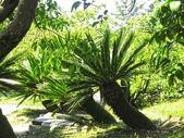 Palmera crece en el parque de verano. naturaleza tropical — Foto de Stock
