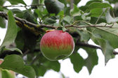 Green and red apple hanging on tree — Stock Photo