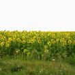 Wide field of sunflowers. The Summertime landsape - Stock Photo
