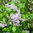 Branch of lilac blossom - Foto Stock