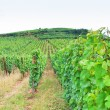 Vineyard in Alsace — Foto Stock #11065145