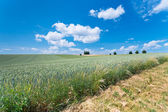 Country wheat field — Stock Photo