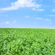 Stock Photo: Green lucerne field under blue sky