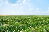 Flowers of potato — Stock Photo