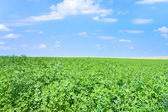 Green lucerne field under blue sky — Stock Photo