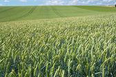 Sommaren fältet land vete — Stockfoto
