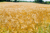 Yellow wheat field — Stock Photo