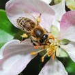 Bee on apple blossom - Stock Photo