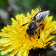 Bee on dandelion flower - Stock Photo
