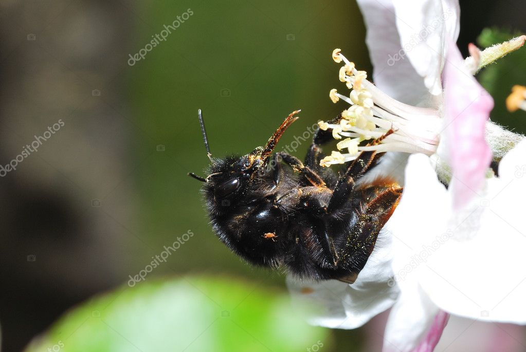 Big black bumblebee with a white bloom with a lot of dust — Stock Photo #12004712