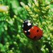 Ladybug on shrub - Stock Photo