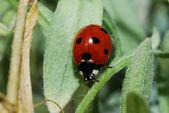 葉の上のてんとう虫 — ストック写真