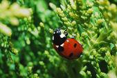 Ladybug on shrub — Stock Photo