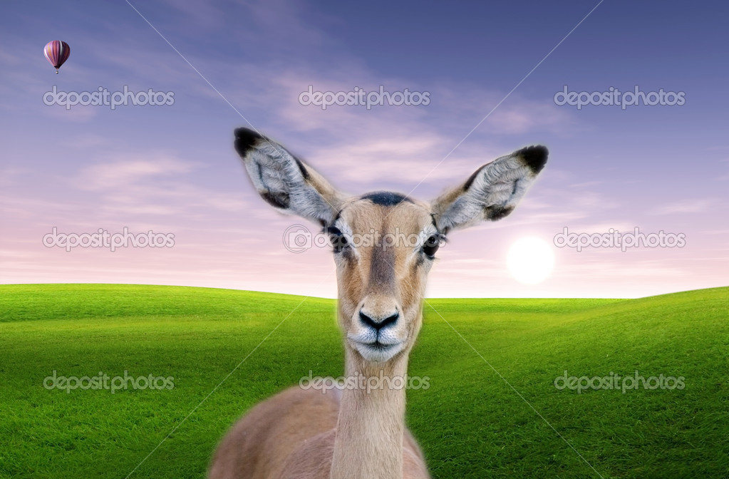 Female impala (Aepiceros Melampus) is in the savanna with hot ai balloon flying at dawn — Stock Photo #10945832
