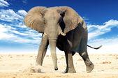 African elephant (Loxodonta africana) — Stock fotografie