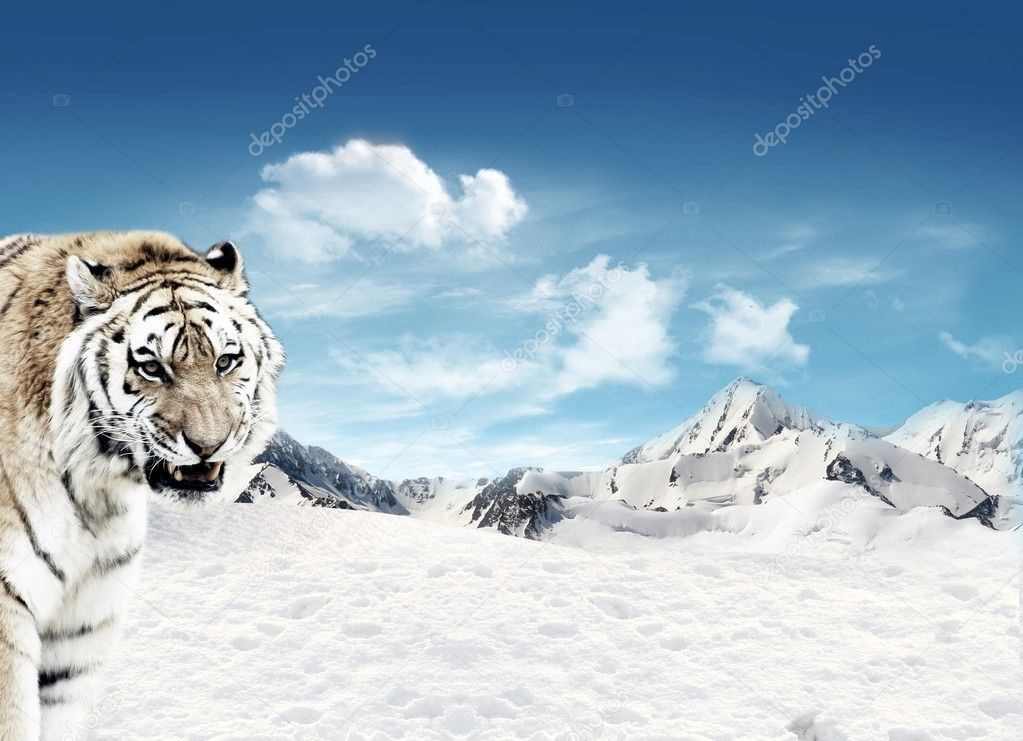 Tiger (Panthera tigris) in the snowfields with mountains and blue sky and clouds in the background — Stock Photo #11389329