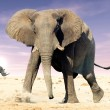 African elephant (Loxodonta africana) and white rhinocerons (Cer — Stock Photo