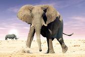 African elephant (Loxodonta africana) and white rhinocerons (Cer — Stock fotografie