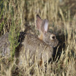 Cottontail Rabbit in Grass — Foto Stock #11332015