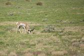 Buck pronghorn antelope alimentación — Foto de Stock