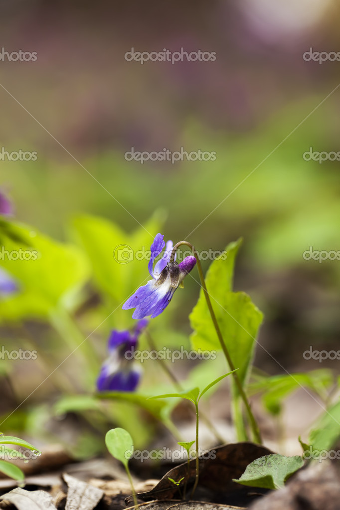 Lonely a violet flower against leaves, a close-up shot  Stock Photo #11413485