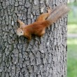 Squirrel on a tree trunk — Stock Photo