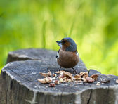 Bird sits on a stub with split nutlets — Stock Photo