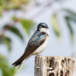Stock Photo: Tree Swallow