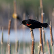 Stock Photo: Red Winged Blackbird