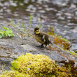 Duckling — Stock Photo #10775316