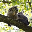 Stockfoto: Young Great Horned Owl
