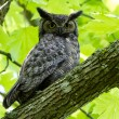 Great Horned Owl — Stock Photo #10775378