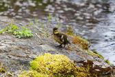 Duckling — ストック写真