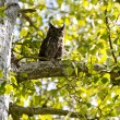 Great Horned Owl — Stock Photo #10865408