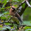 Cedar Waxwing — Stock Photo #11080470